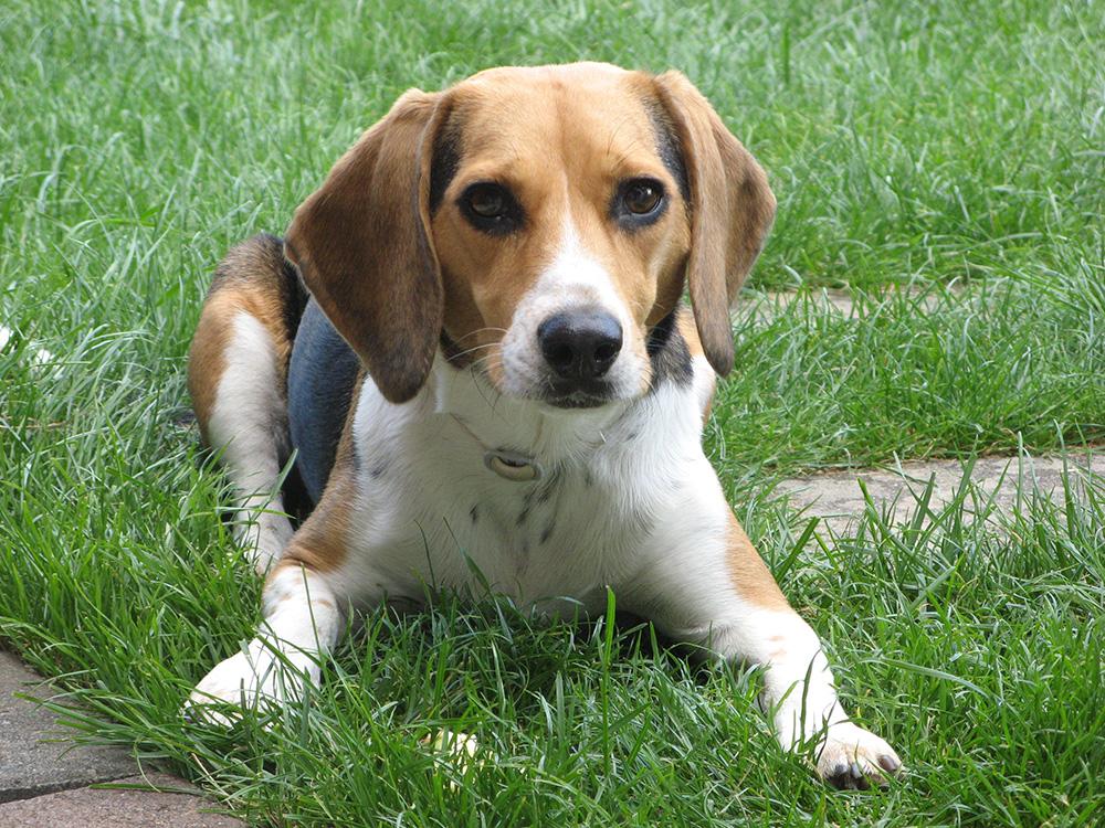 Beagle gehören zu den mittelgroßen Hunderassen.