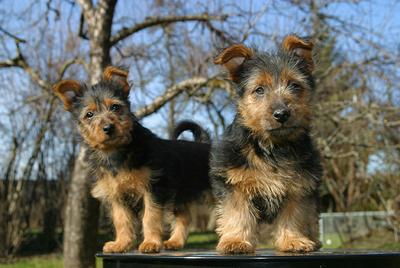 Australian Terrier gehören zu den kleinen Hunderassen.